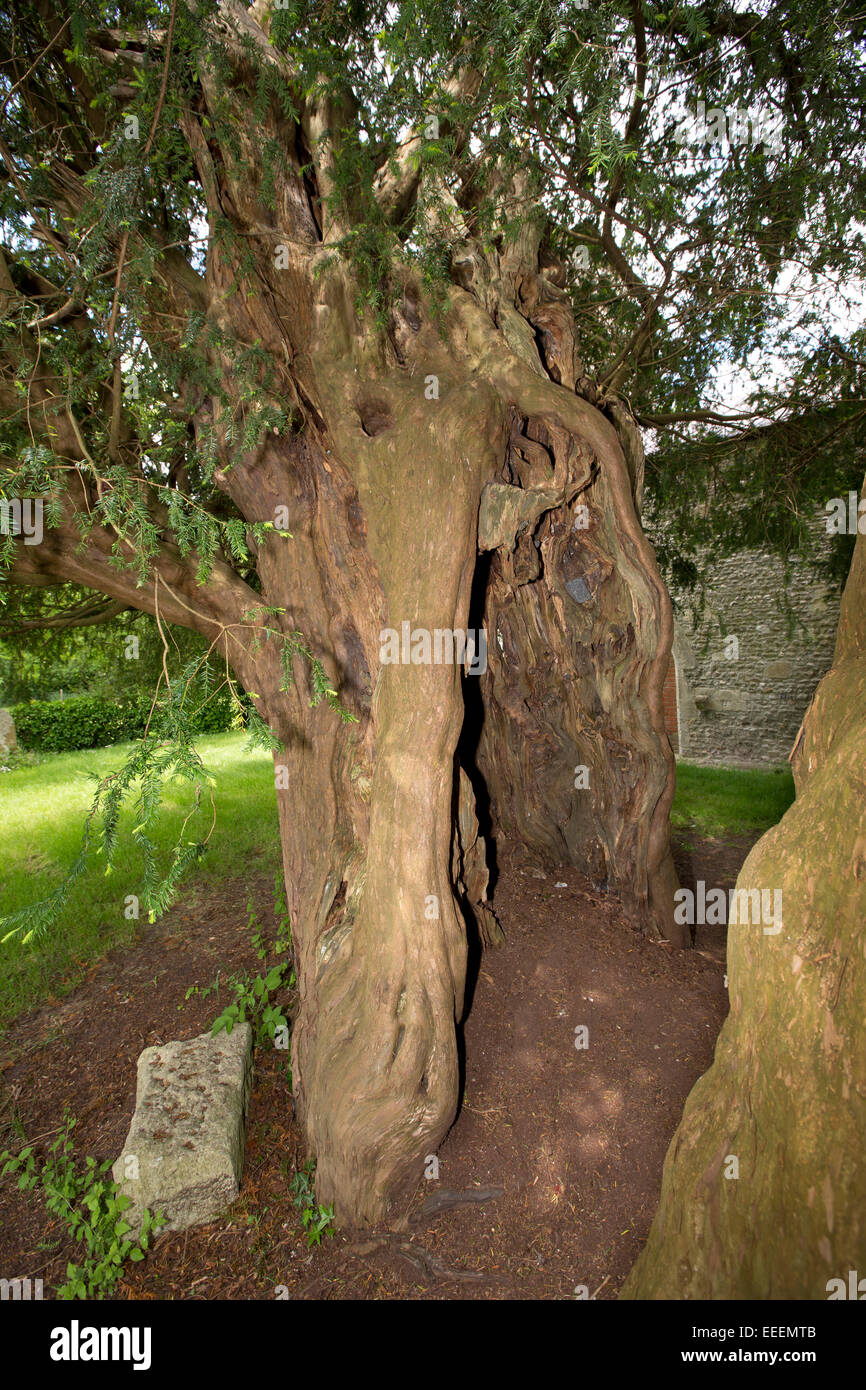 UK, England, Wiltshire, Vale of Pewsey, Alton Priors Church of All Saints, 1700 year old churchyard yew - Stock Image