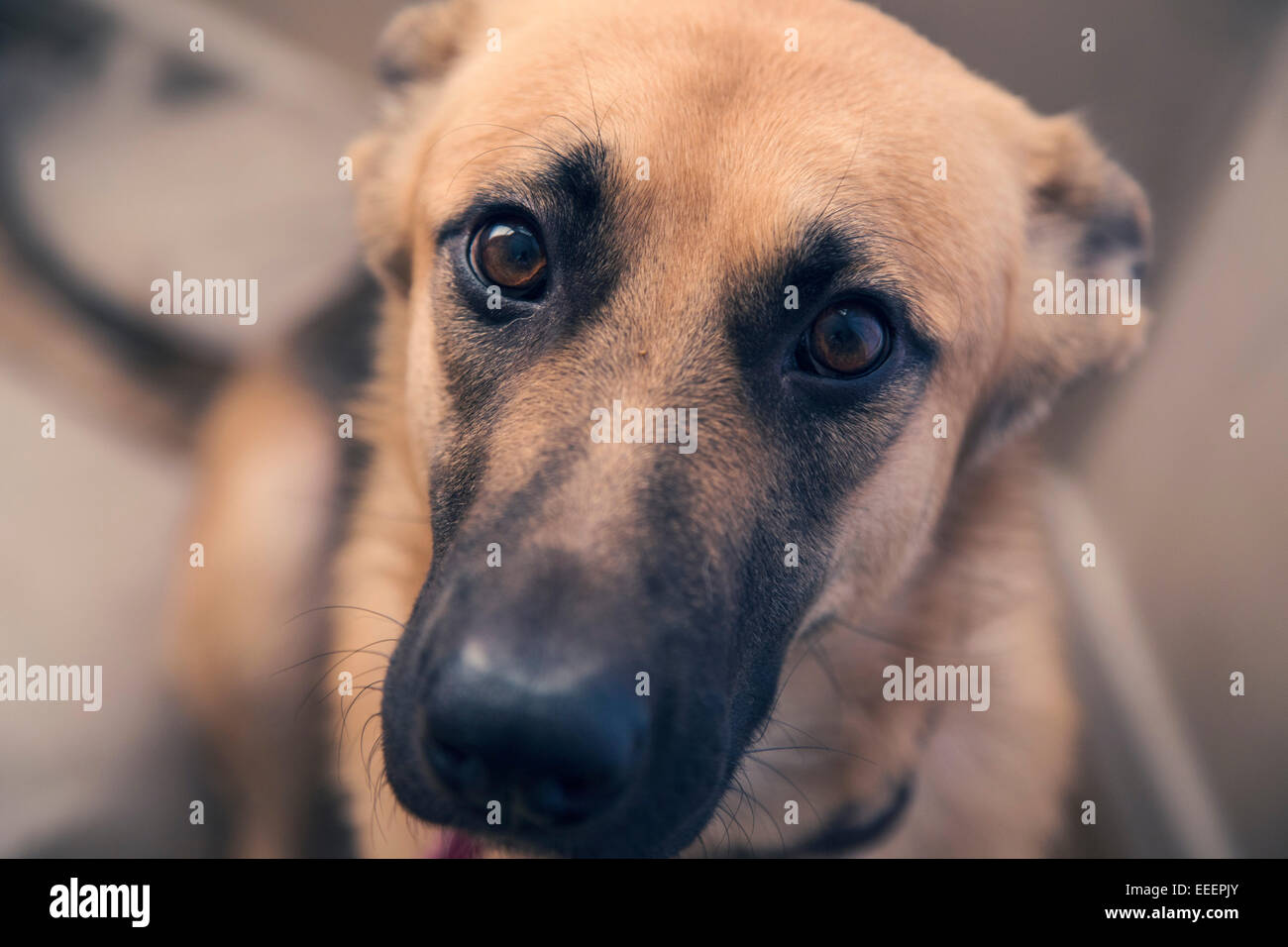 German Shepherd Giving The Puppy Eyes Stock Photo 77771763 Alamy