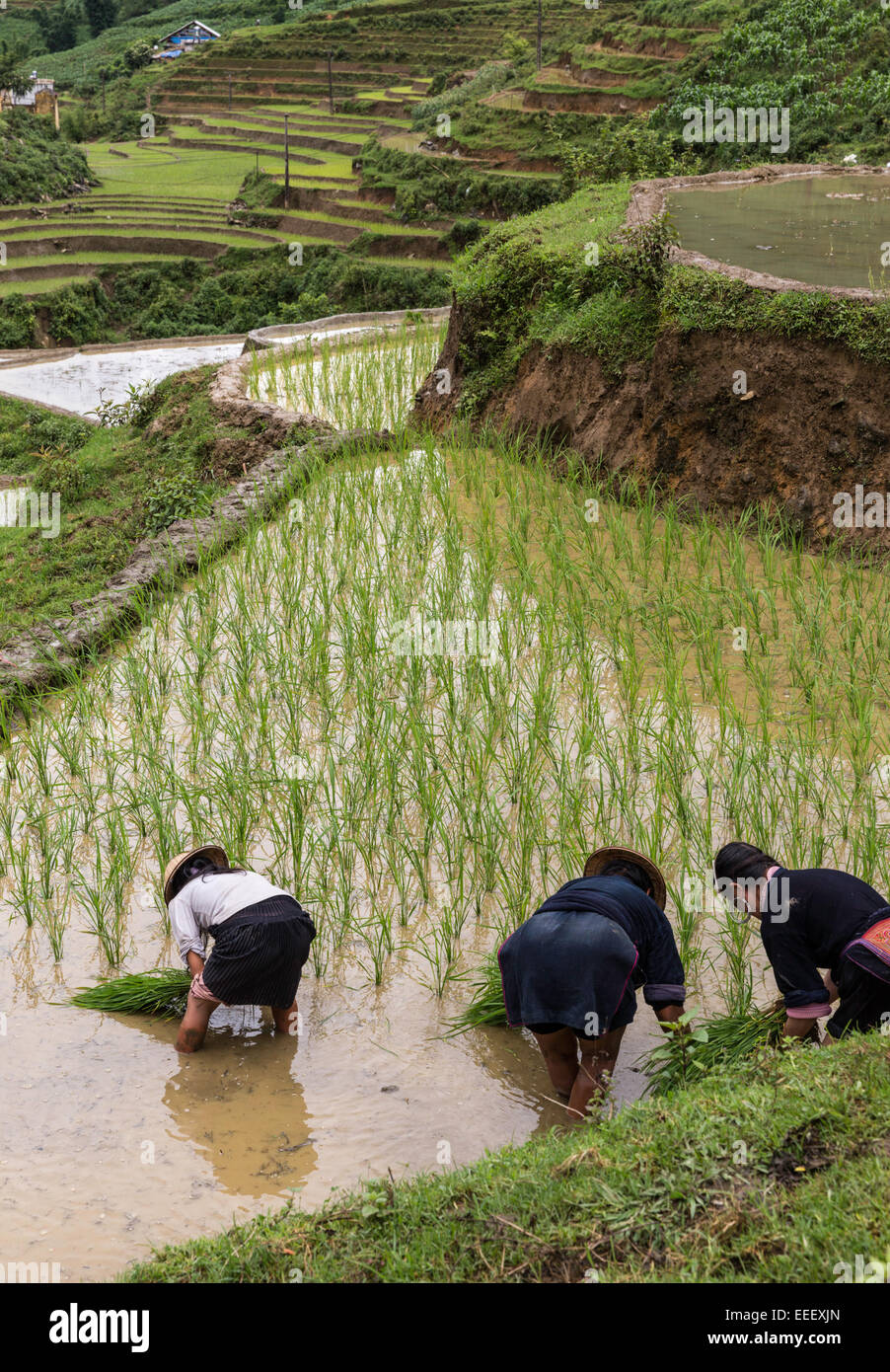 Black Hmong women planting seedlings in terraced rice paddy during rainy season, Cat Cat village, near Sapa northern - Stock Image