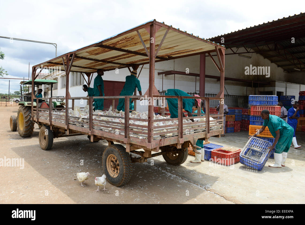 MOZAMBIQUE, Chimoio, chicken farm and slaughterhouse Agro-Pecuaria Abilio Antunes, processing of broiler at slaughterhouse - Stock Image