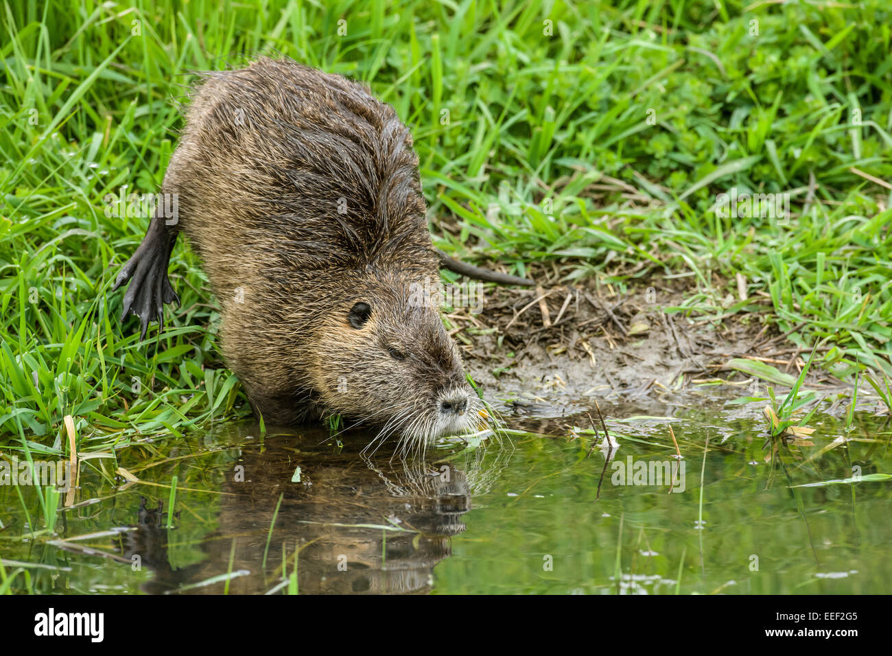 Coypu, also known as the river rat or nutria, is a large, omnivorous, semi-aquatic rodent. Stock Photo