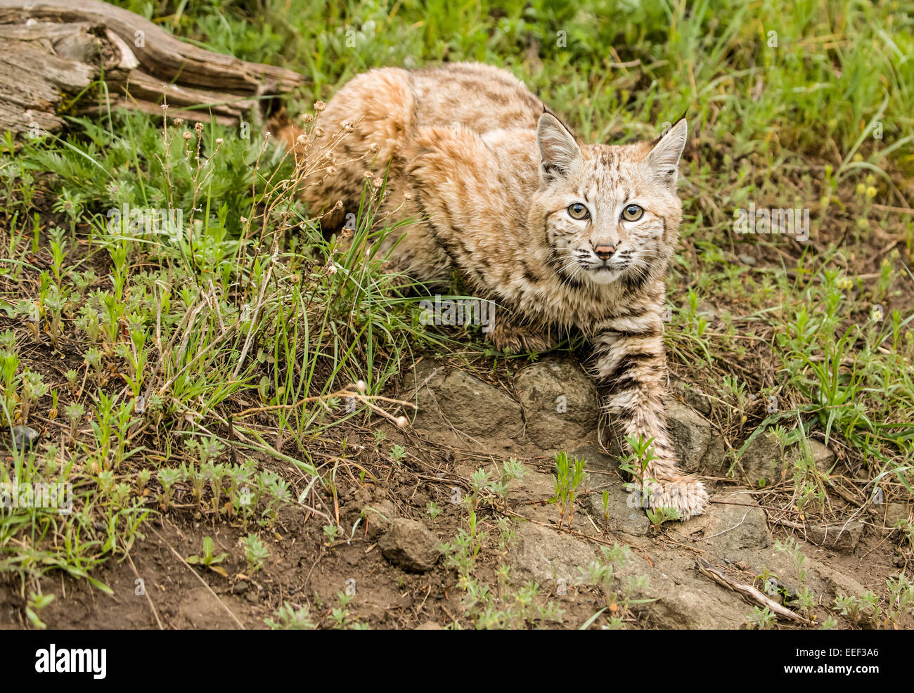 Bobcat walking in a meadow searching for prey near Bozeman