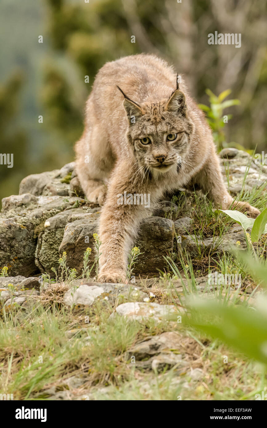 Sub-adult Canada Lynx searching for prey in a meadow near Bozeman, Montana, USA. - Stock Image