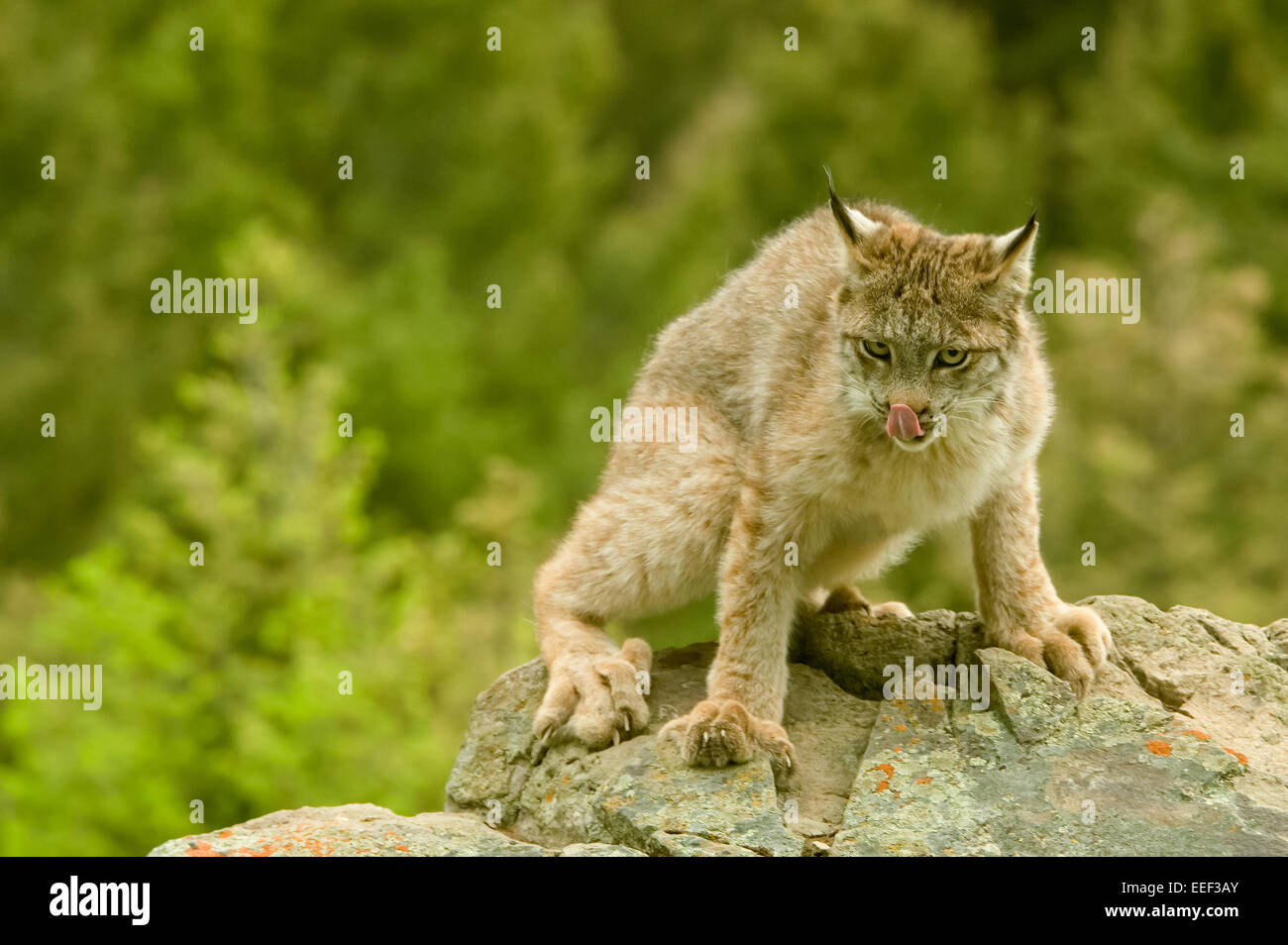 Sub-adult Canada Lynx with tongue out, on rocks in Bozeman, Montana, USA - Stock Image