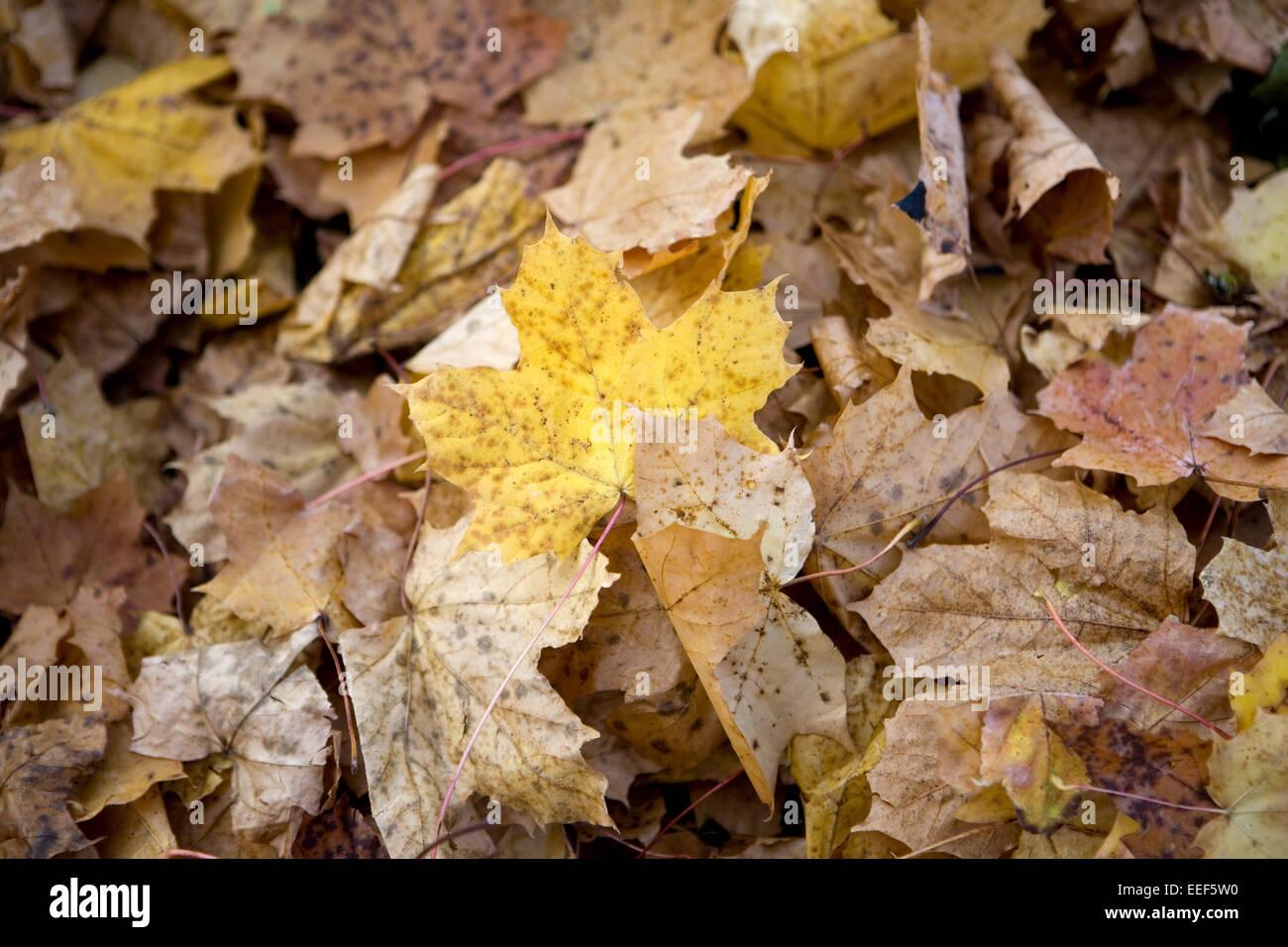 Herbstlaub, Ahornblaetter, bunt, Detail, Blaetter, Ahornlaub, Laub, abgefallen, welk, liegen, durcheinander, Vielfalt, - Stock Image