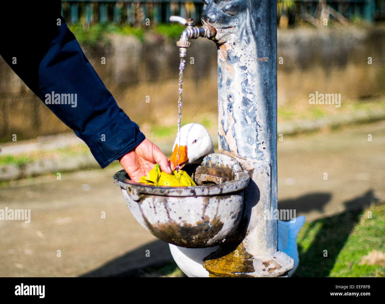 White Duck joking with hand in park - Stock Image