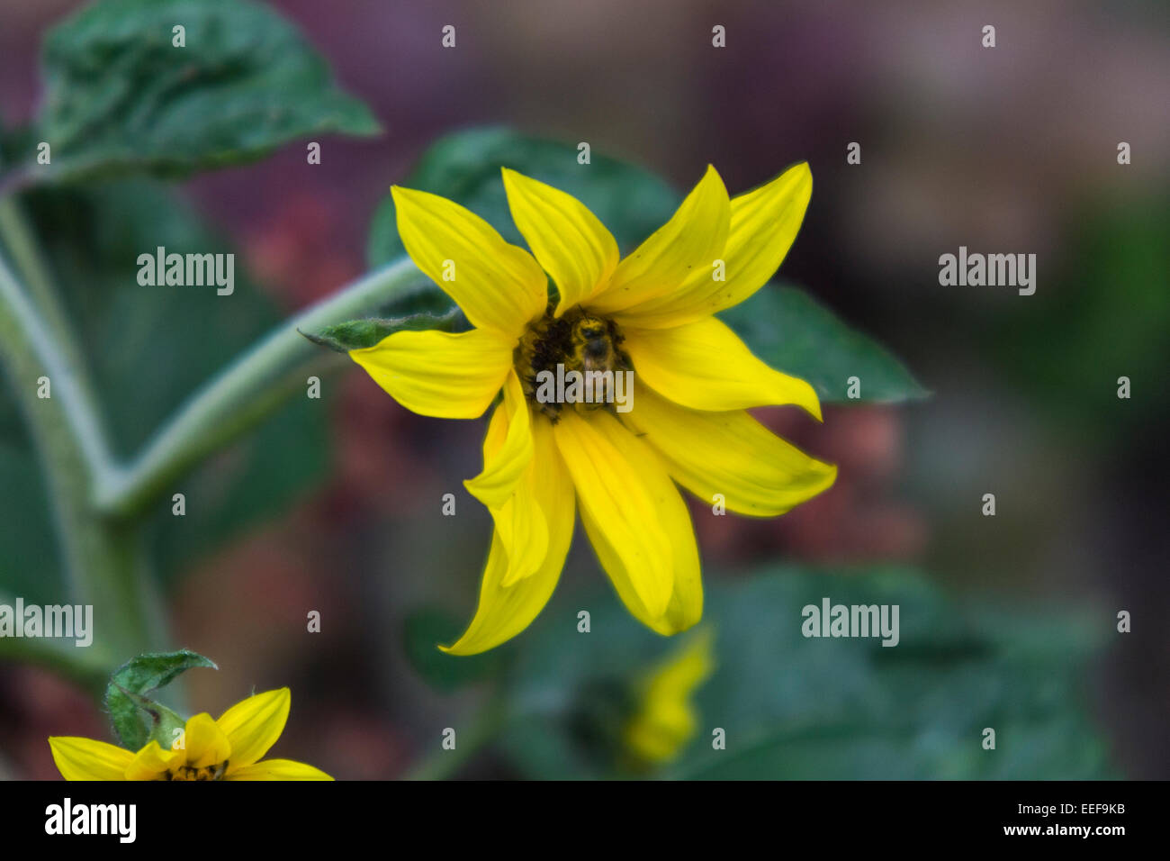 A Bee in a Yellow Flower, Regent's Park, City of Westminster, London - Stock Image