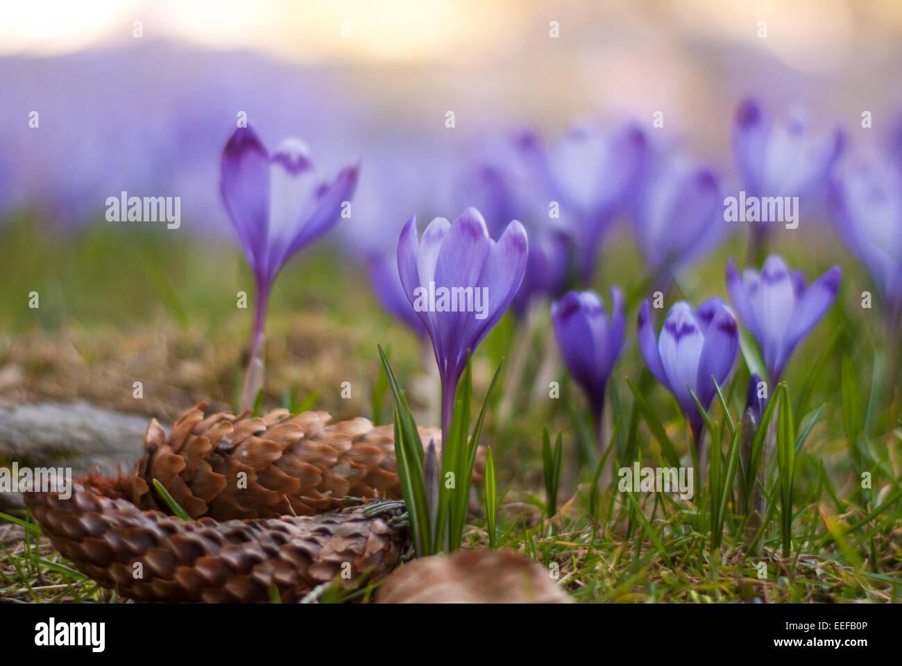 Purple crocus field. Blue crocuses. A field filled of violet (purple, blue, magenta) crocuses. - Stock Image