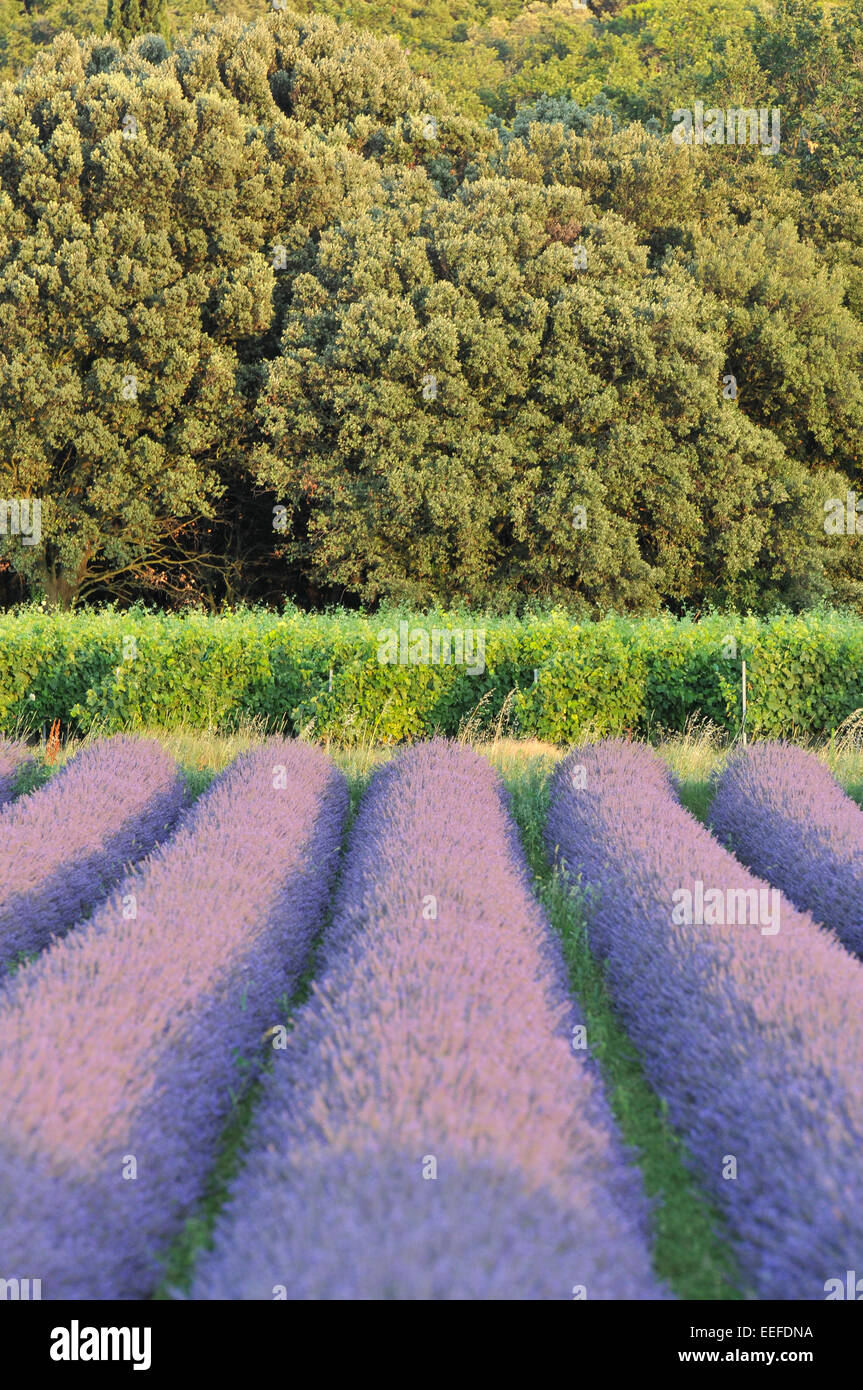 vineyards and lavender field alignment - Stock Image