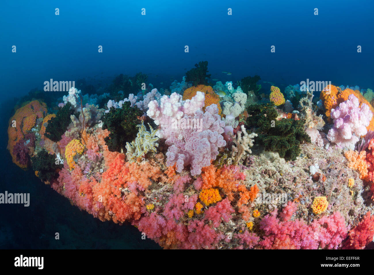 Colored Coral Reef, Triton Bay, West Papua, Indonesia - Stock Image