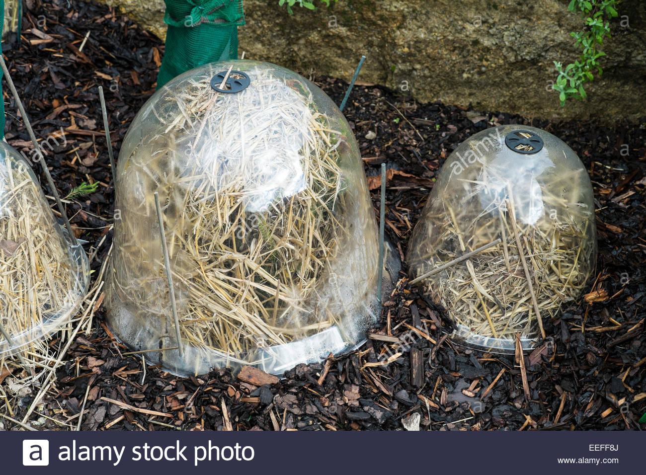 Frost protection using plastic bell cloches filled with straw - Stock Image