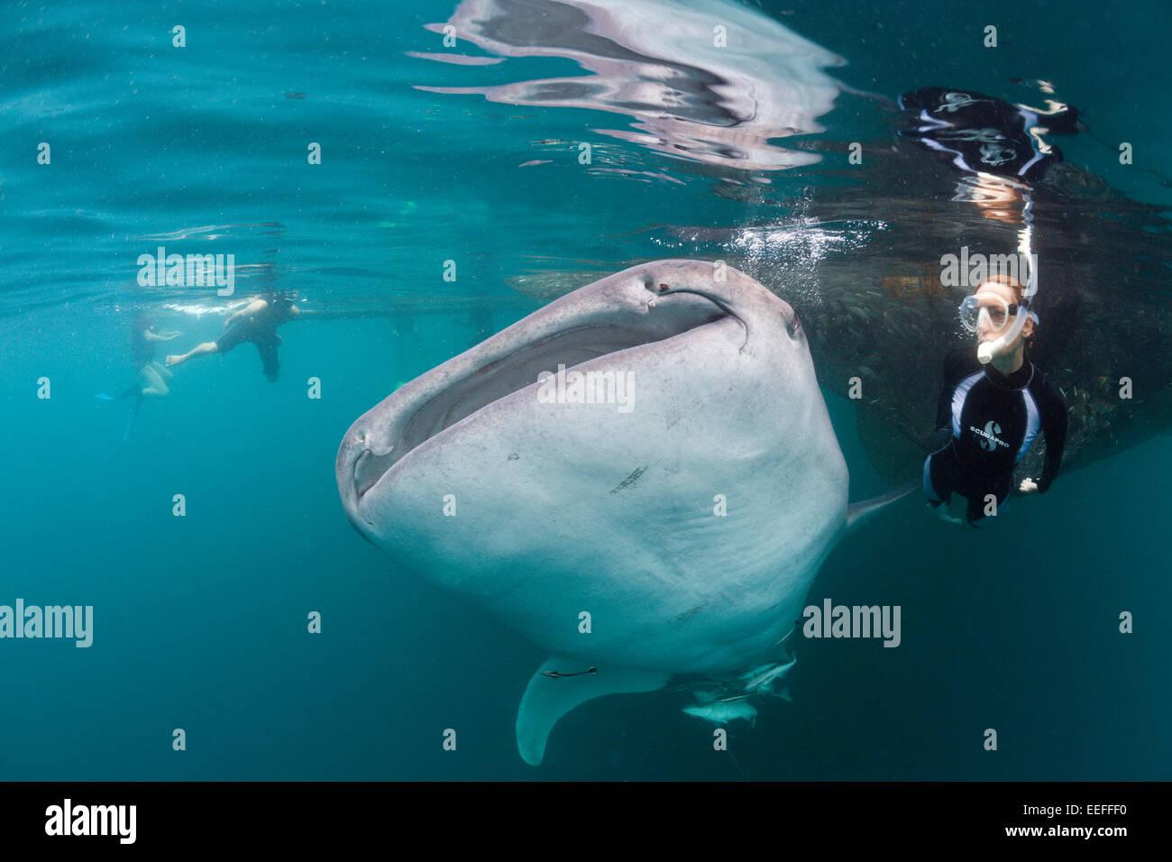 Snorkeling near Whale Shark, Rhincodon typus, Triton Bay, West Papua, Indonesia - Stock Image