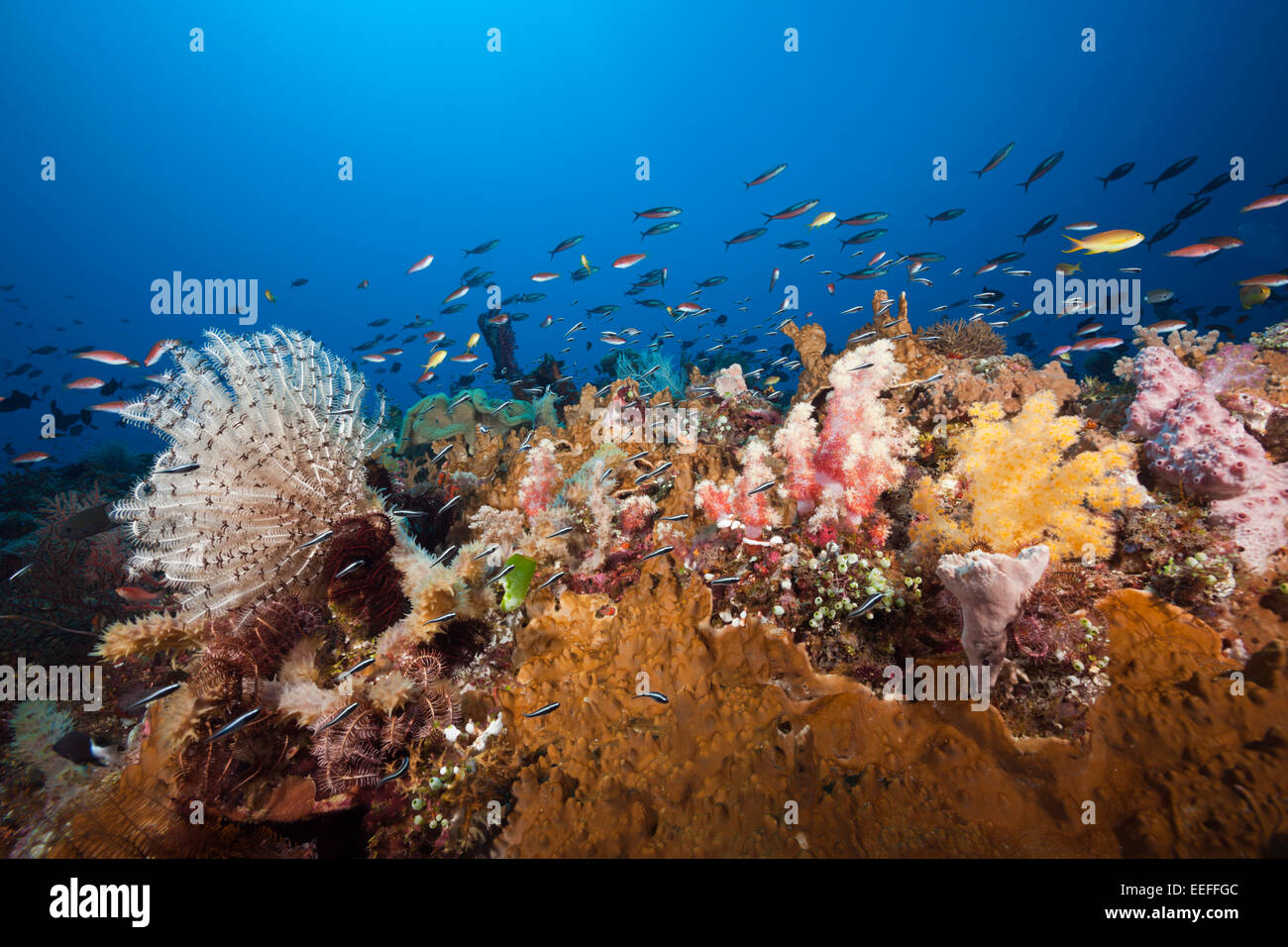Colored Coral Reef, Tanimbar Islands, Moluccas, Indonesia - Stock Image