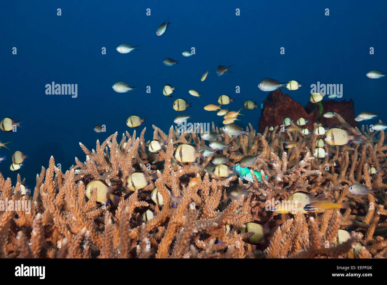 Various Coralfishes over Branching Corals, Tanimbar Islands, Moluccas, Indonesia - Stock Image