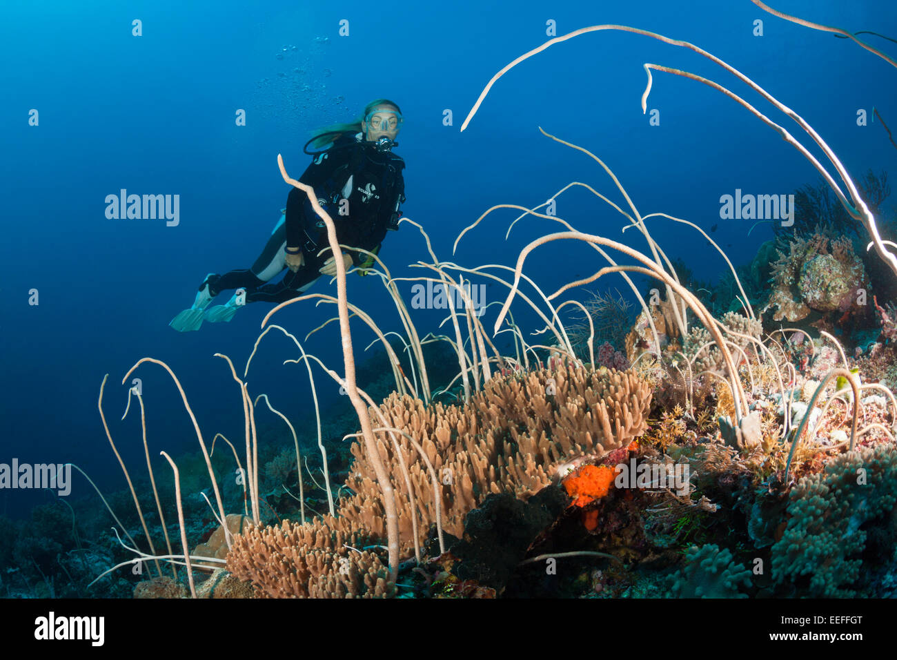 Diver over Field of Whip Corals, Junceella fragilis, Tanimbar Islands, Moluccas, Indonesia Stock Photo