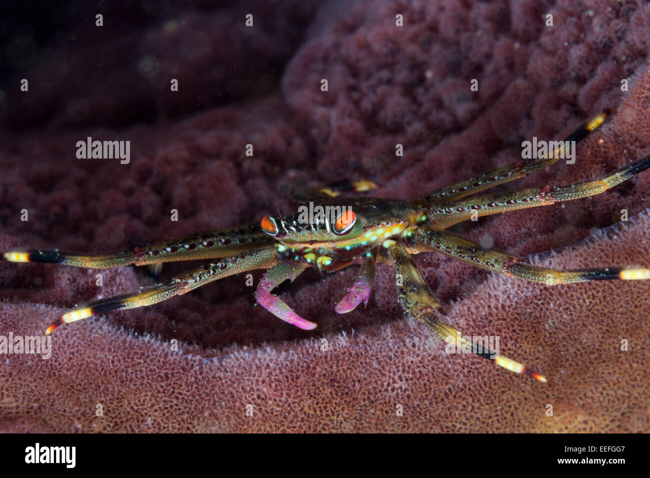 Coral Crab inside sponge, Trapezia sp., Ambon, Moluccas, Indonesia - Stock Image