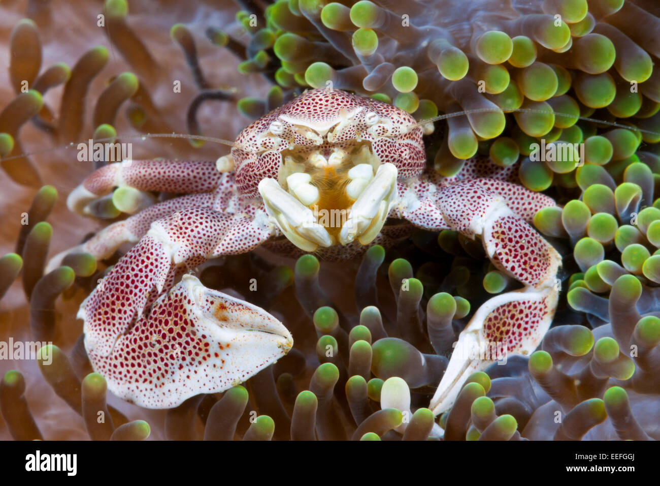 Porcelain Crab associated with Sea Anemone, Neopetrolisthes maculatus, Ambon, Moluccas, Indonesia - Stock Image