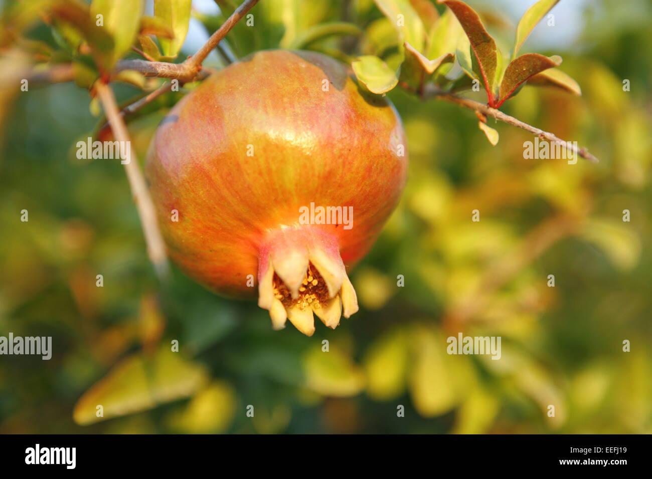 Beerenfruechte Natur, Farbstimmung gruen, Granatapfelbaum, Grenadine, Heilpflanzen, Kulturpflanzen, Natur, Nutzpflanzen, Stock Photo