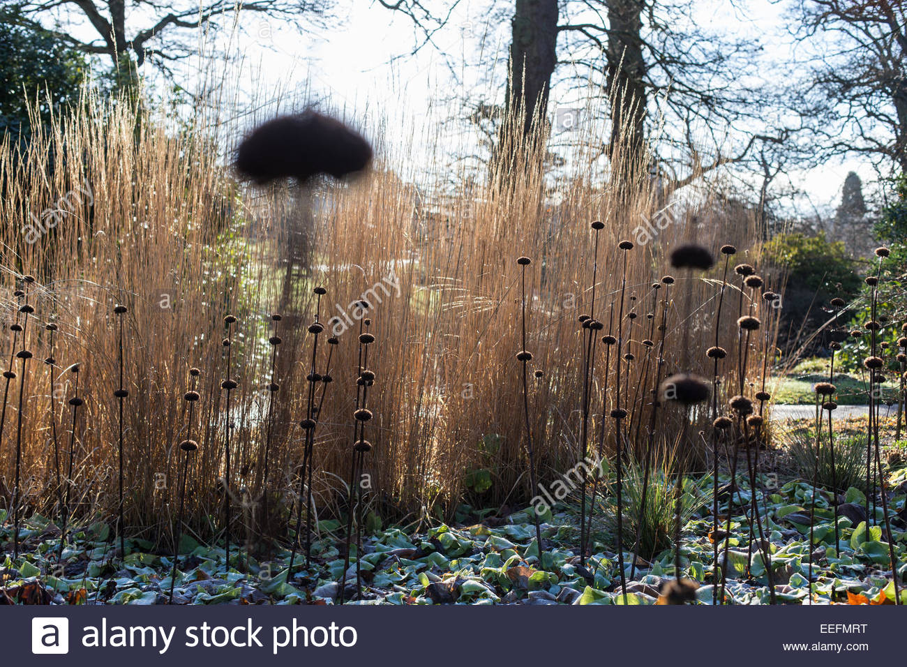 Phlomis russeliana seed heads in wintry garden - Stock Image