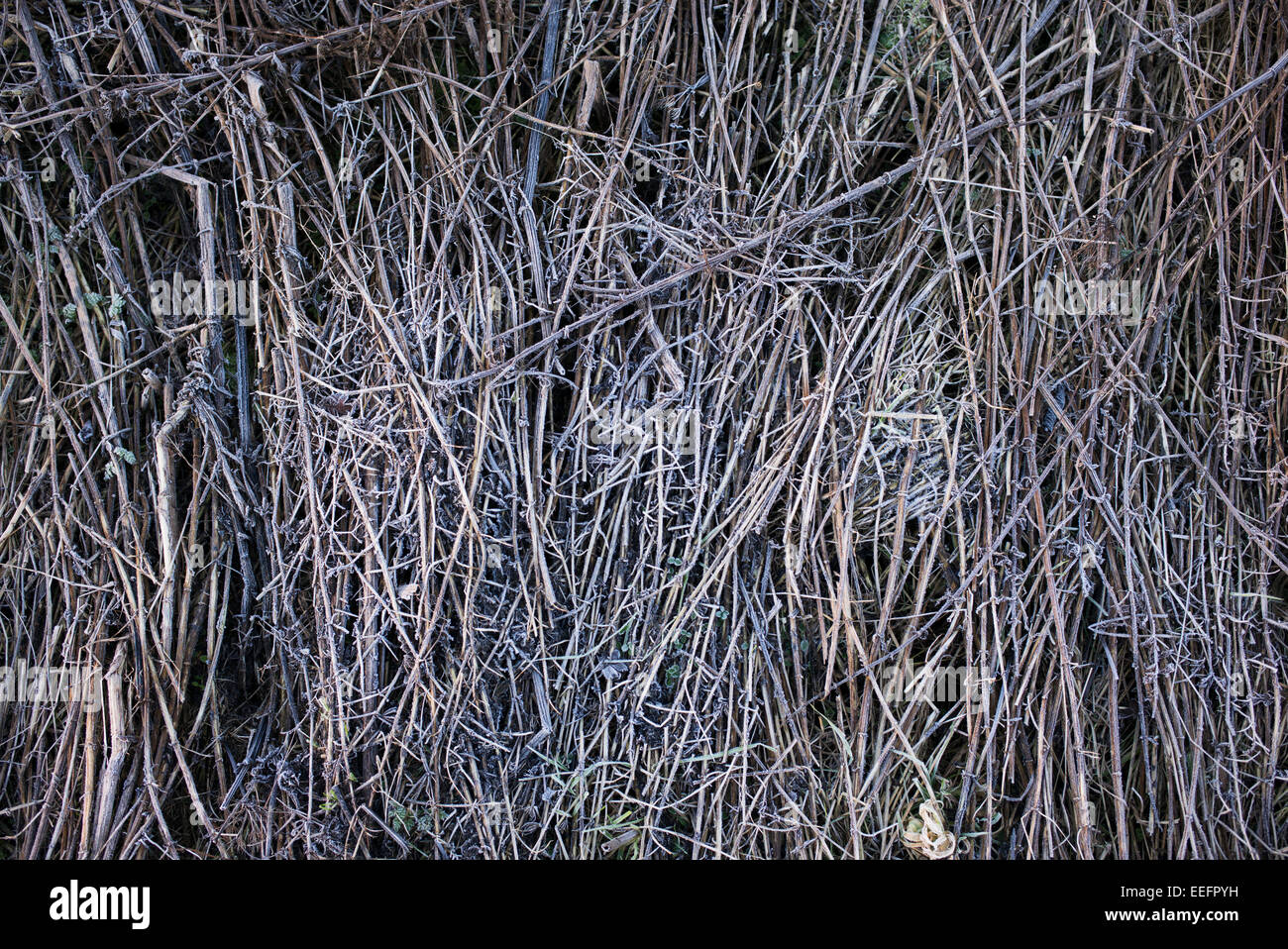 Frost covered grass stems in winter - Stock Image