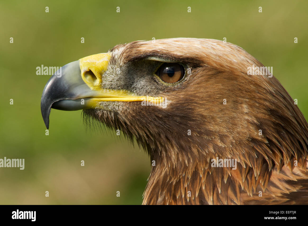 Close-up of golden eagle head with catchlight - Stock Image