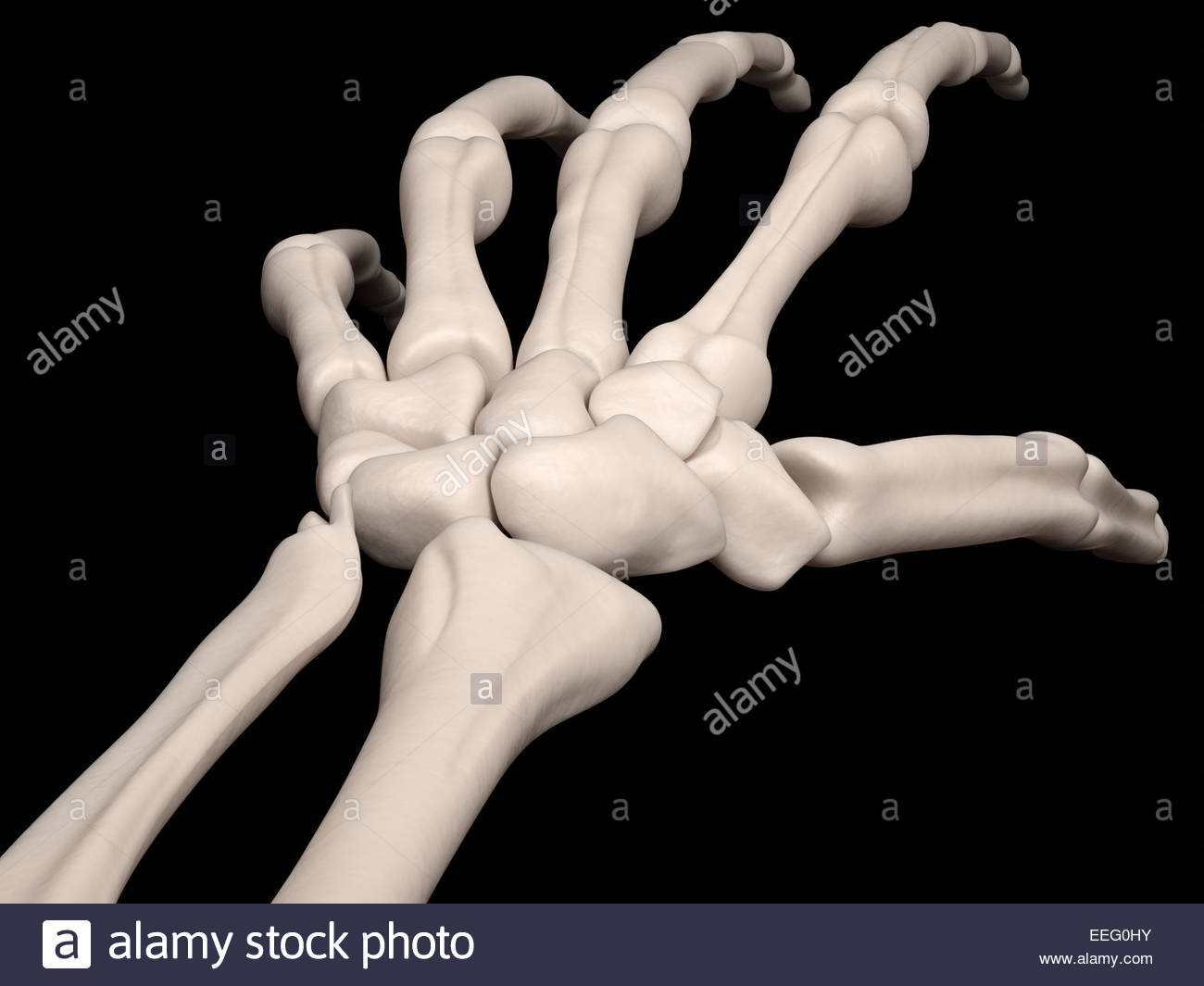 Digital medical illustration depicting a wrist without fractures. - Stock Image