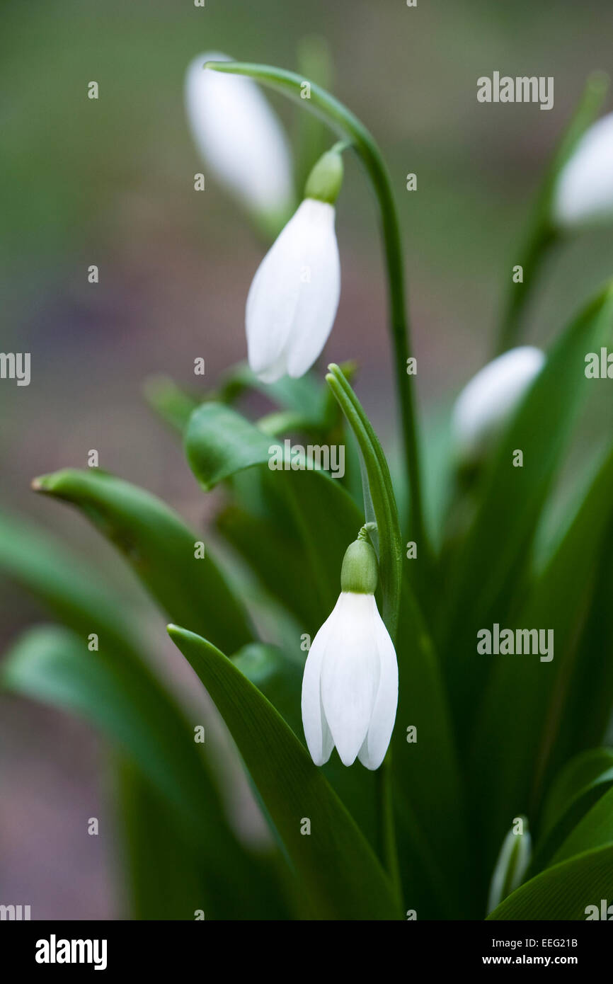 Galanthus 'Woronowii'. Species snowdrop growing on the edge of a woodland garden. - Stock Image