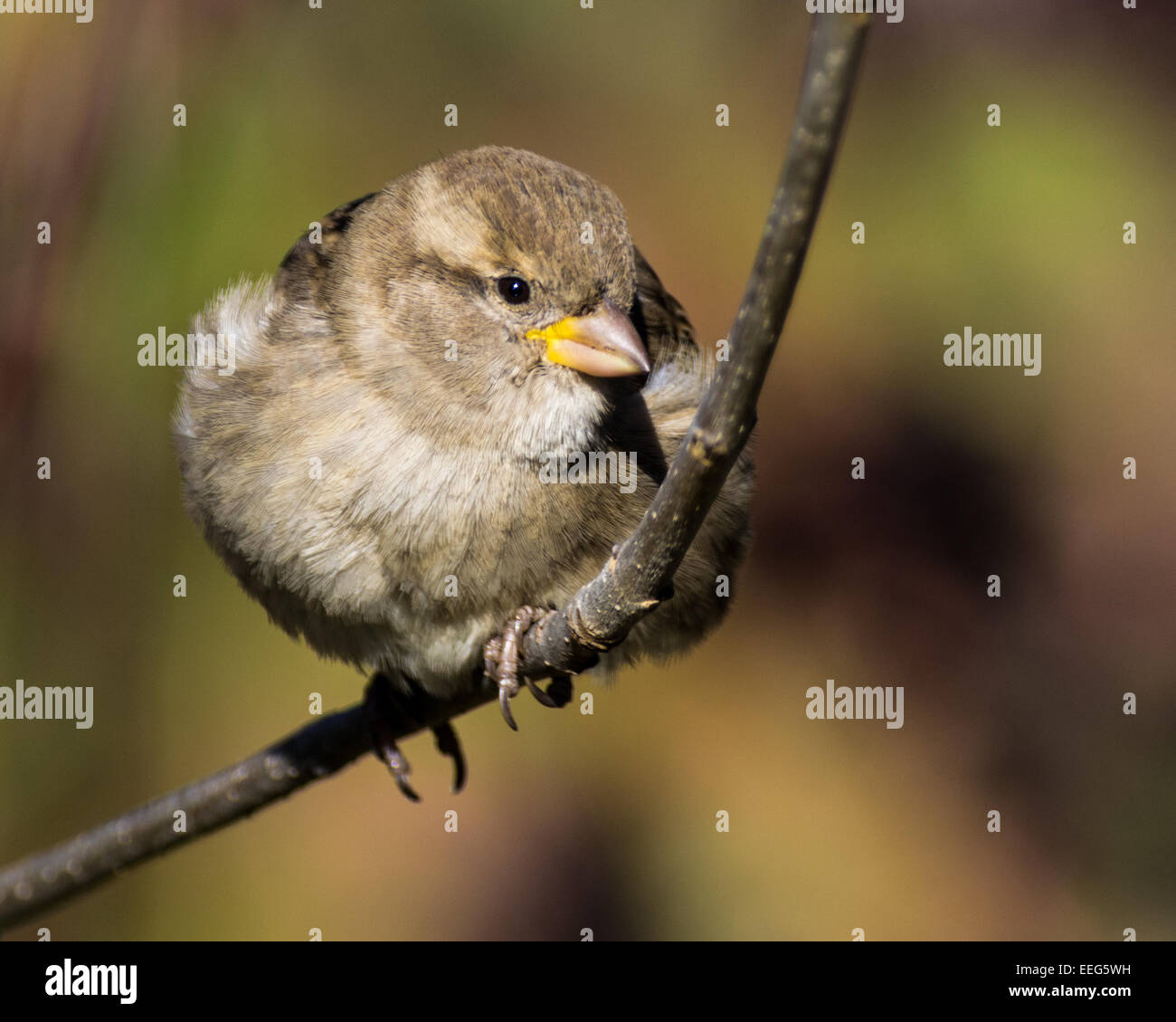 A house sparrow perched on a branch. - Stock Image