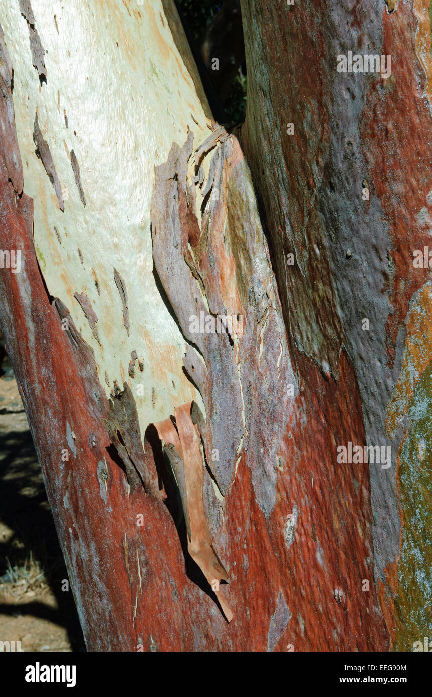 Eucalyptus, Flinders Range, South Australia, SA, Australia - Stock Image