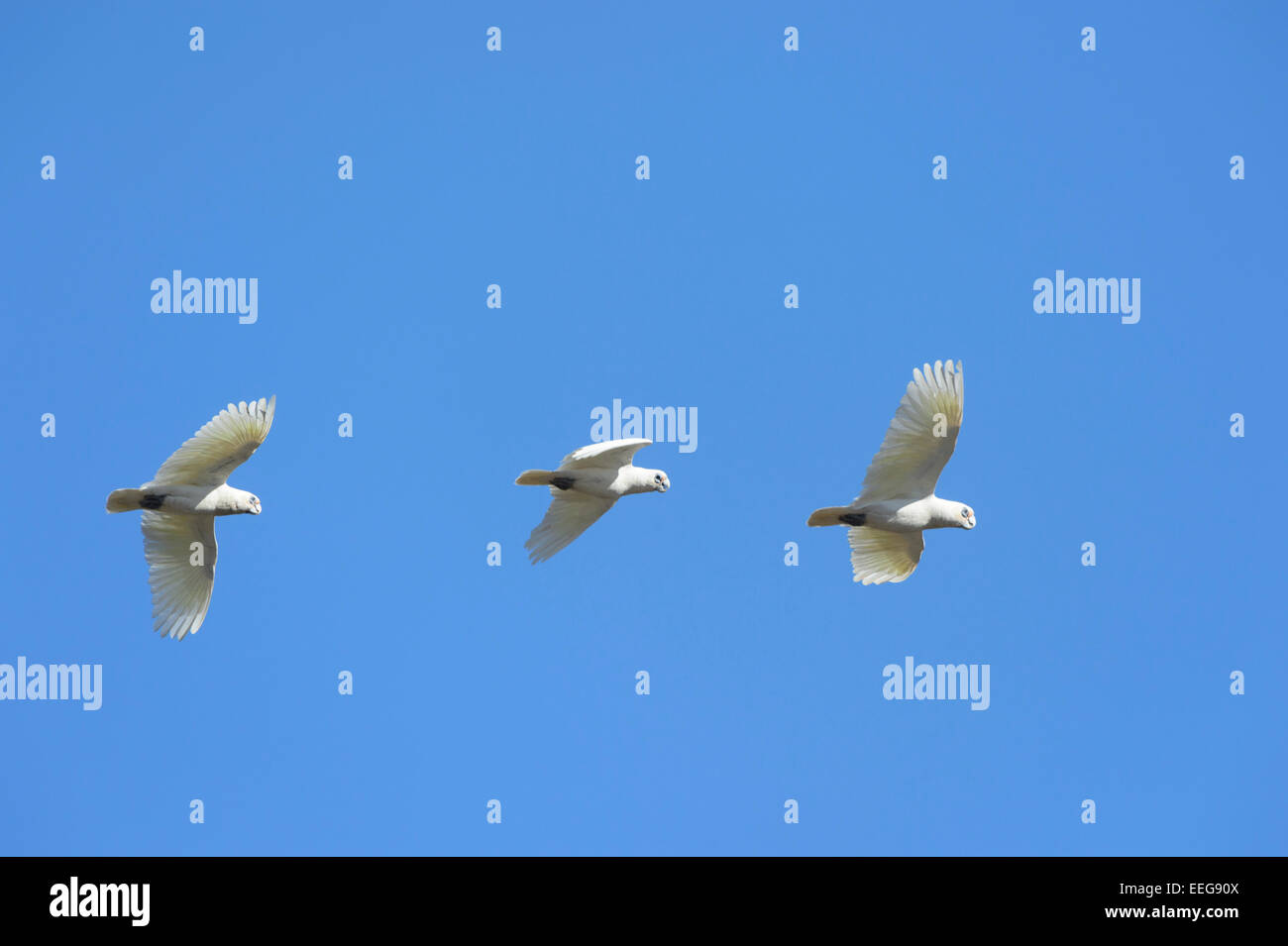 Little Corella - Cacatua pastinator - South Australia Stock Photo