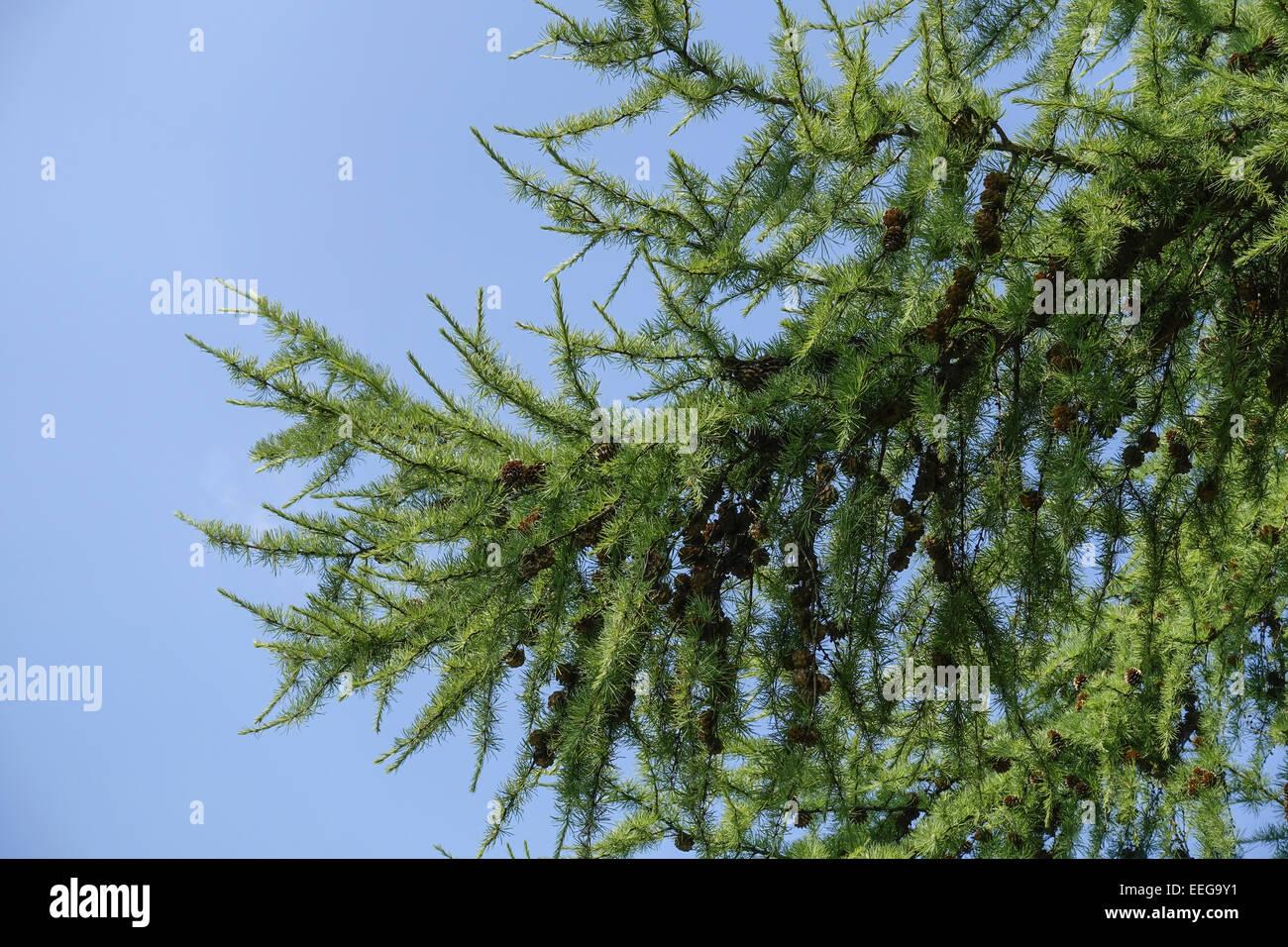 grüne Lärche (Larix) mit Lärchenzapfen, blauer Himmel, green larch (Larix) with larch cones, blue - Stock Image