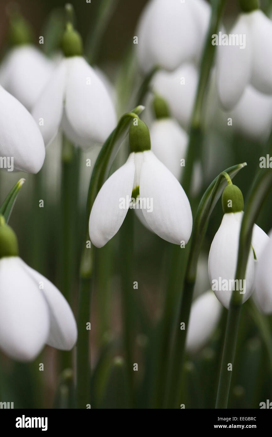 Galanthus 'Galatea'. Species snowdrop growing on the edge of a woodland garden. - Stock Image