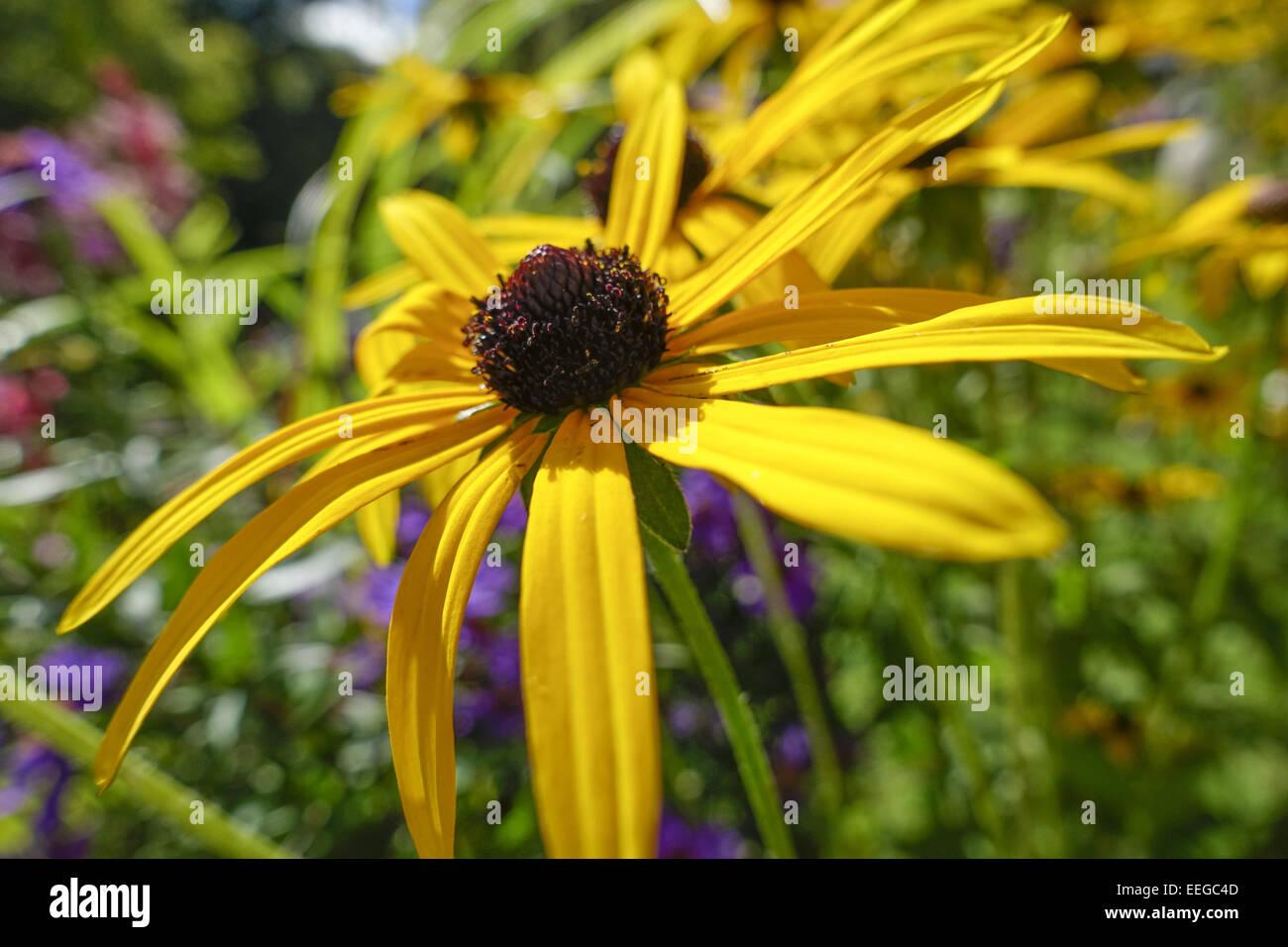 Garten-Sonnenhut (Rudbeckia fulgida var deamii), Goldsturm flower (Rudbeckia fulgida var deamii), asteraceae, background, - Stock Image