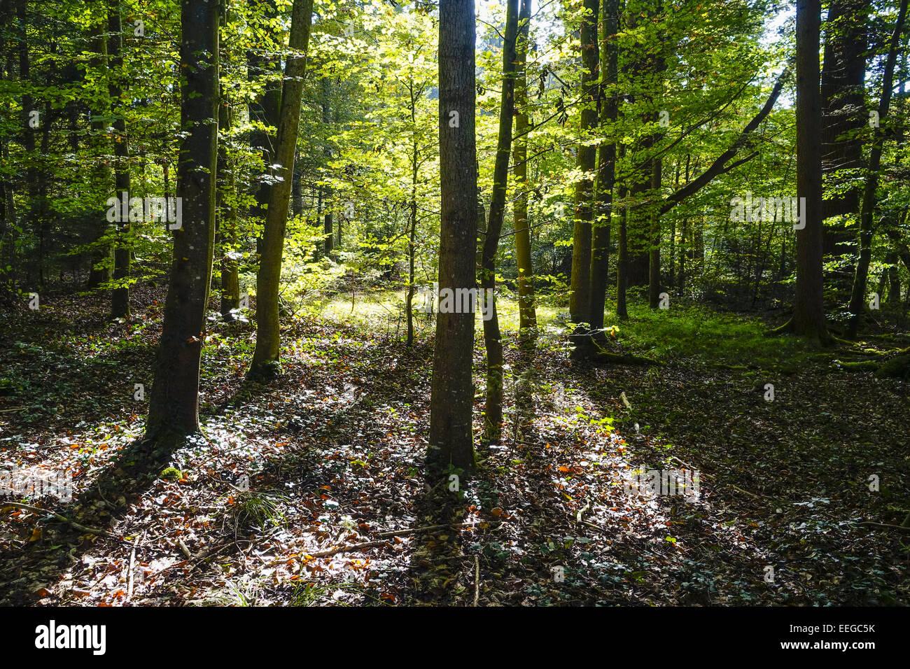 Sonnenstrahlen durchfluteten einen Wald, Sunbeams flooded the forest, background, Bavaria, Bavarian, beam, beams, - Stock Image