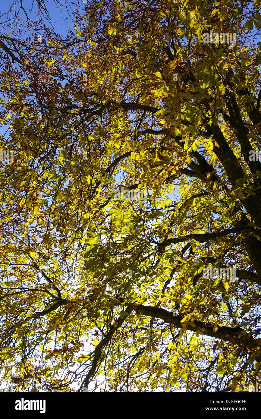 Kastanienbaum im Herbst mit Sonnenstrahlen, Chestnut tree in autumn with sunrays, chestnut, horse chestnut, chestnut - Stock Image