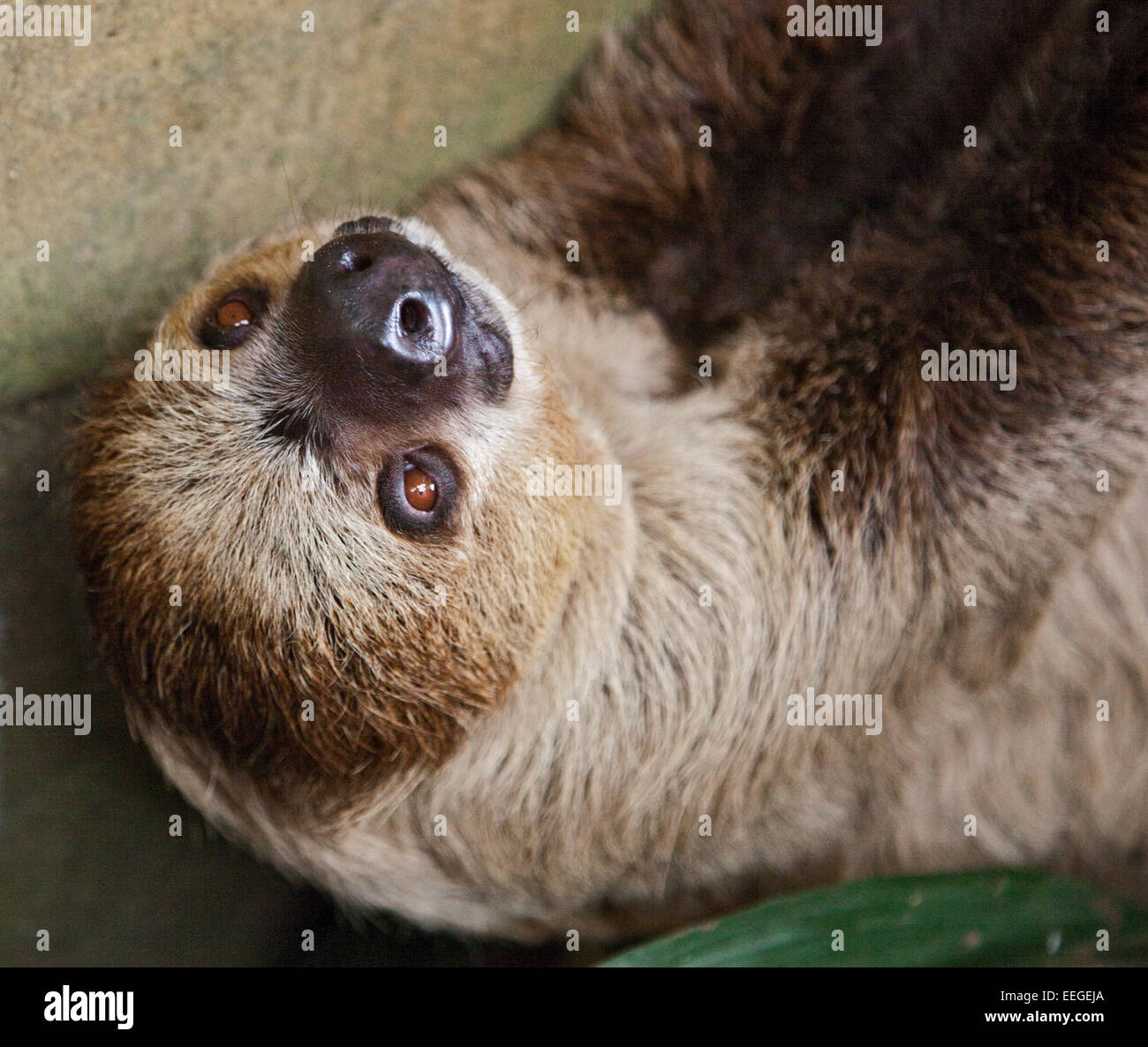 Linnaeus Two Toed Sloth (choloepus didactylus) Stock Photo