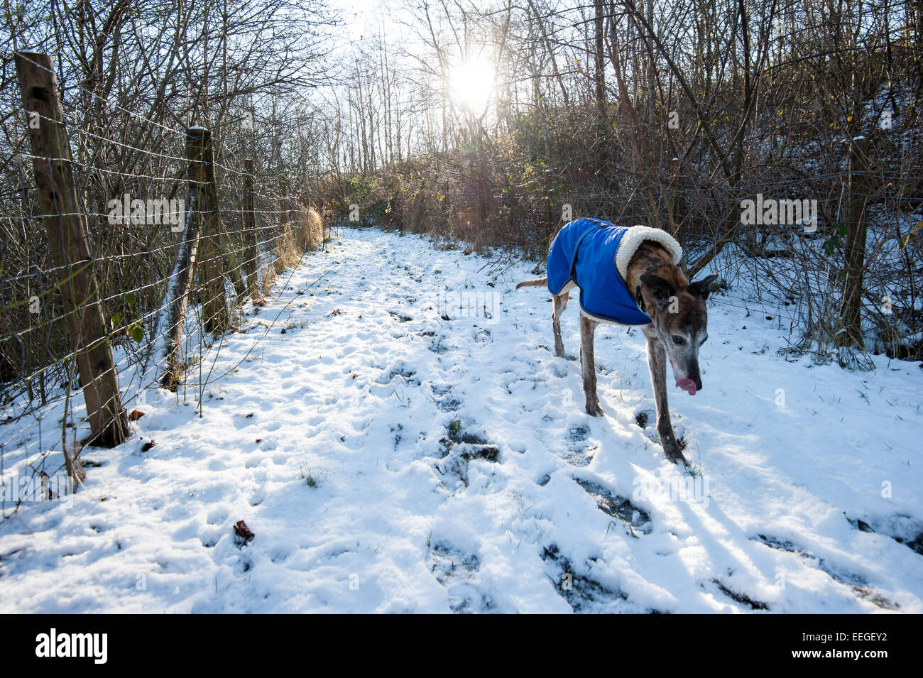 Tredegar, South Wales, UK. 18th January 2015. A couple of friends take Brian, a 14 year old greyhound for a walk Stock Photo