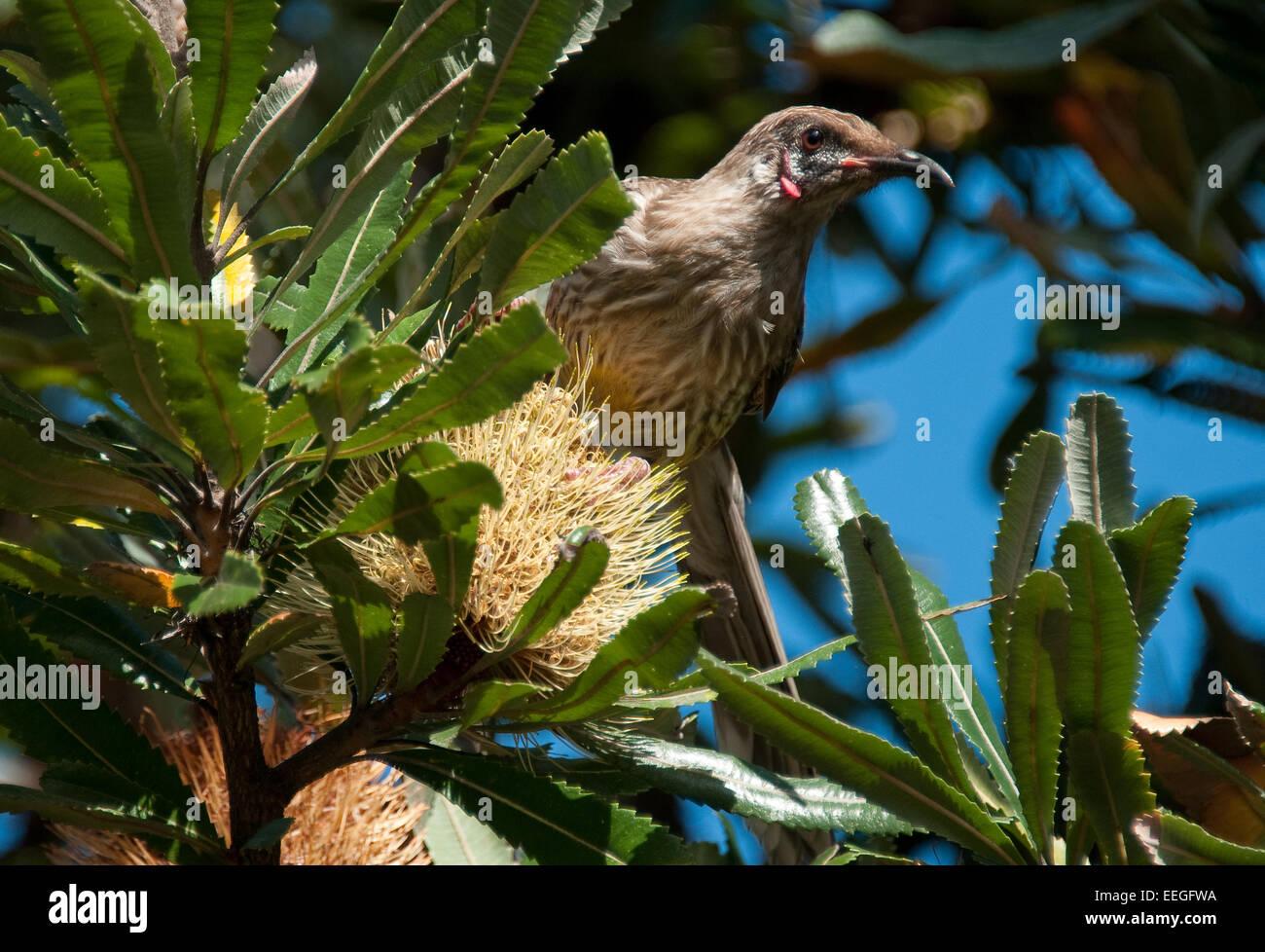 Red Wattlebird (Anthochaera carunculata) - Stock Image