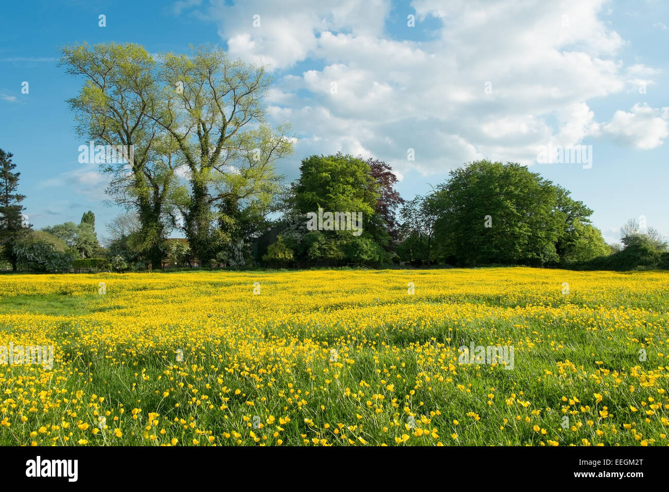 A field full of buttercups with trees during summer, in Oxfordshire, UK. - Stock Image