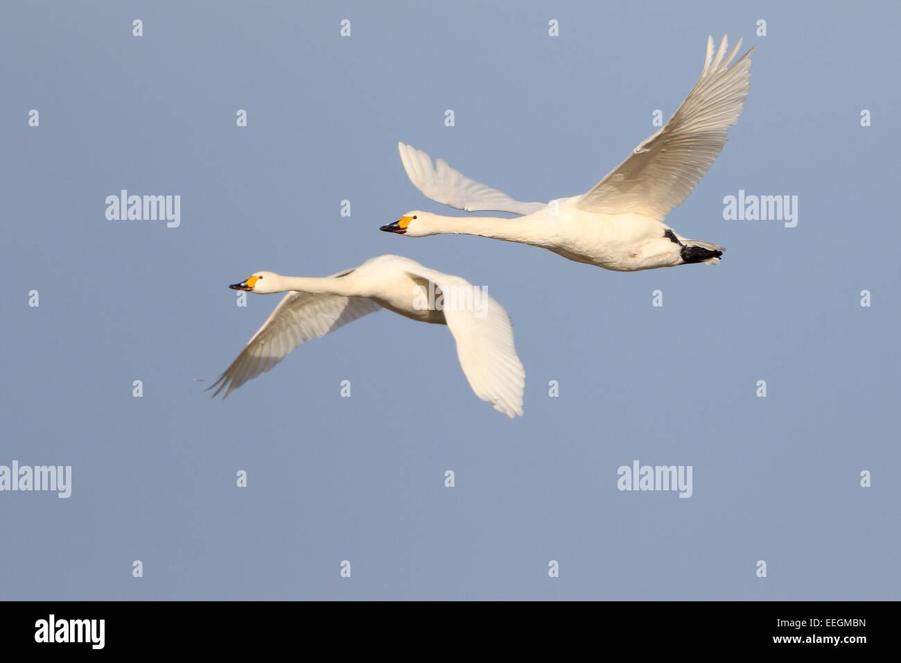 Pair of adult Bewick's Swans in flight Stock Photo