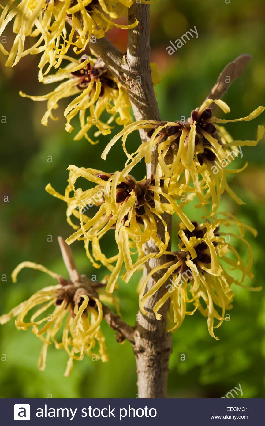 Hamamelis X Intermedia Pallida Witchhazel Winter Spring Flower