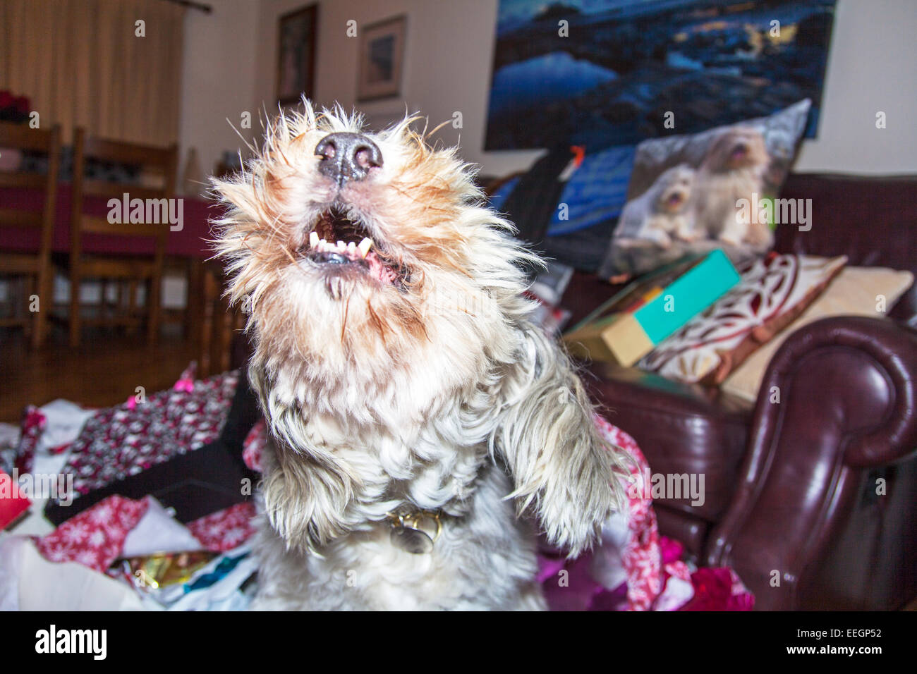 Howling dog mouth open at home barking angry unhappy pet mongrel inside house room kept captured - Stock Image