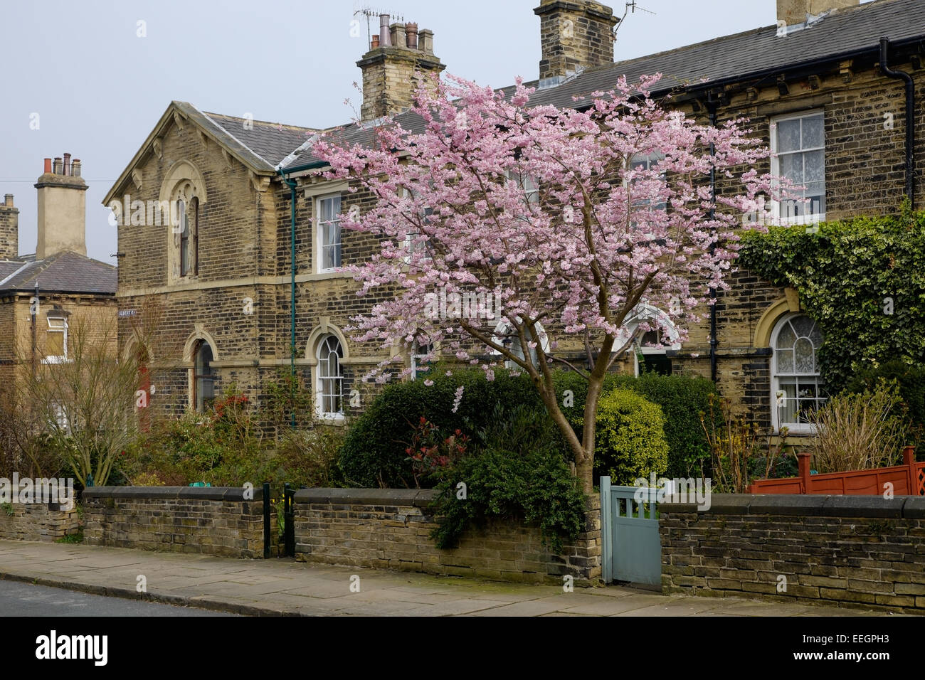 A cherry tree in bloom outside a Victorian house in the mill town of Saltaire, Yorkshire, UK. - Stock Image