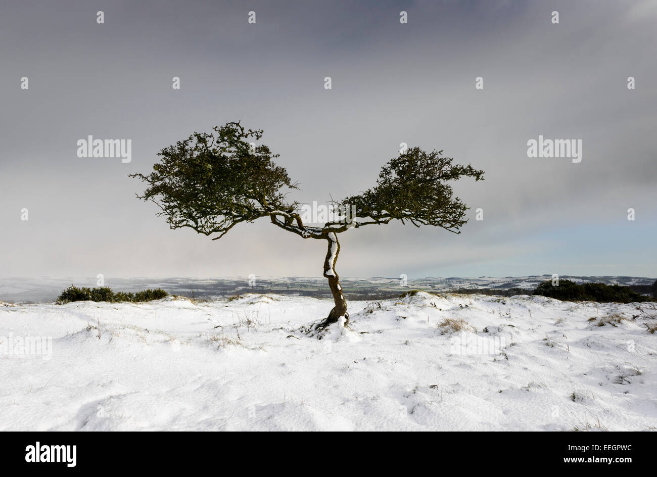 Twisted Tree - Stock Image