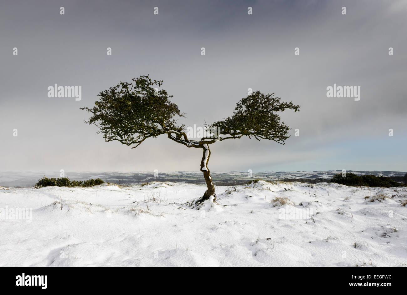 Twisted Tree - Stock Image