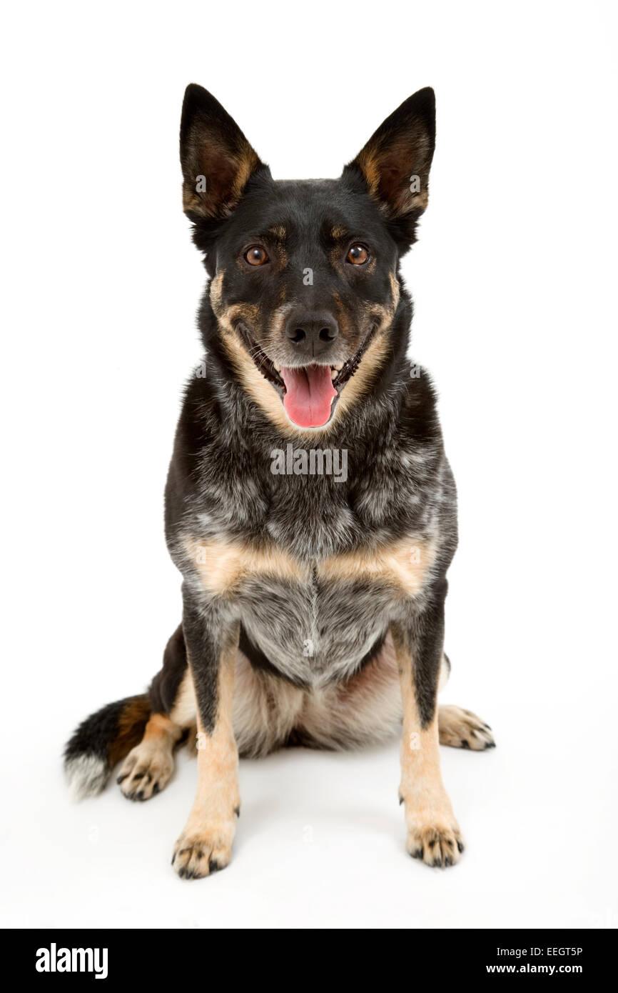 Australian cattle dog - Stock Image