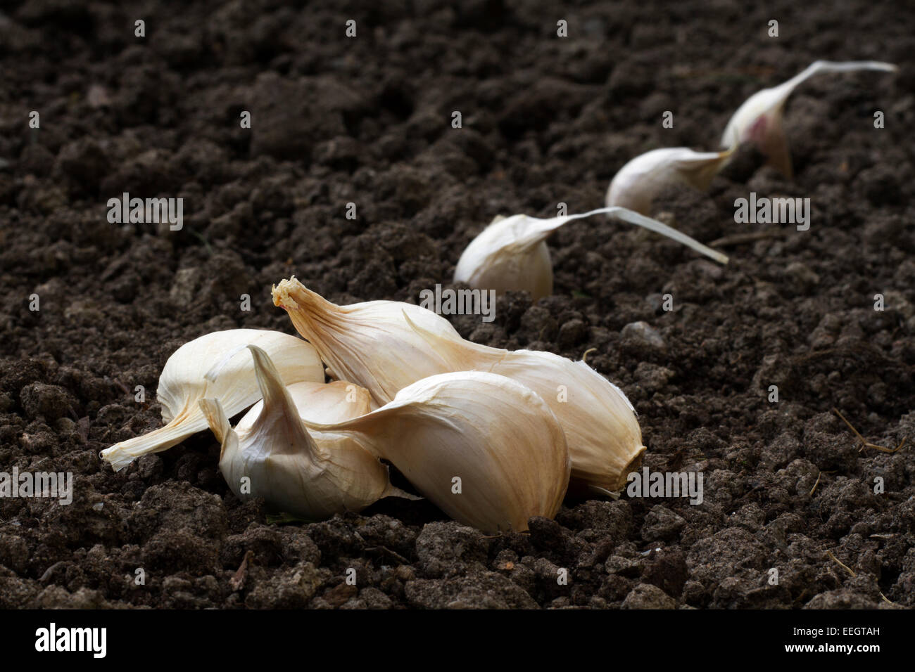 Garlic plants - Stock Image