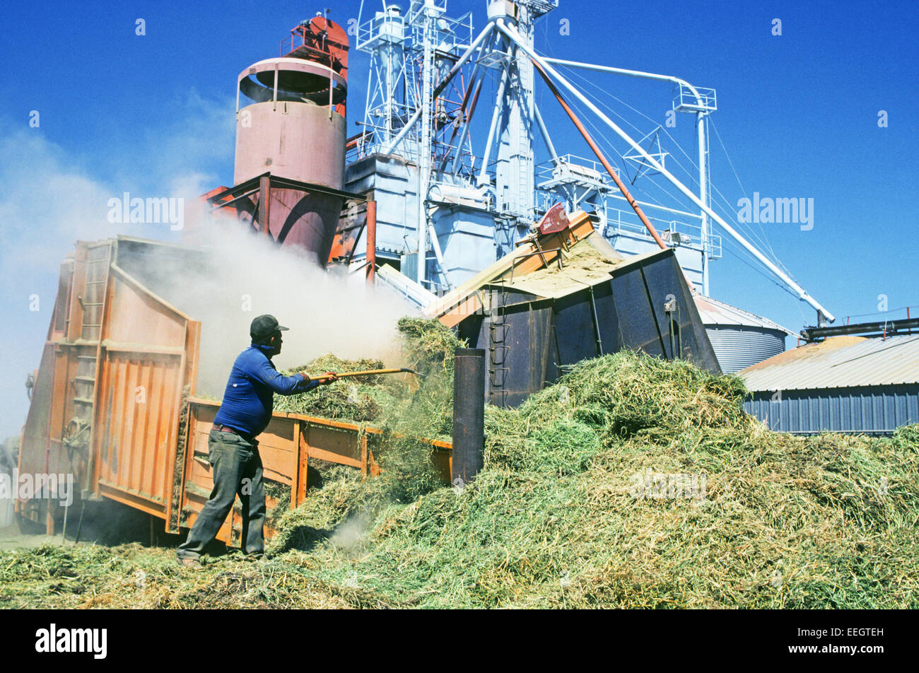 An illegal Mexican immigrant works on a feed lot in southern New Mexico - Stock Image