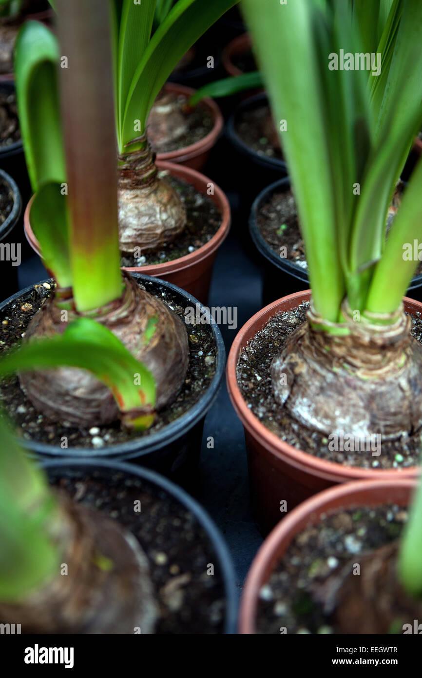 Amarylis bulb - Stock Image
