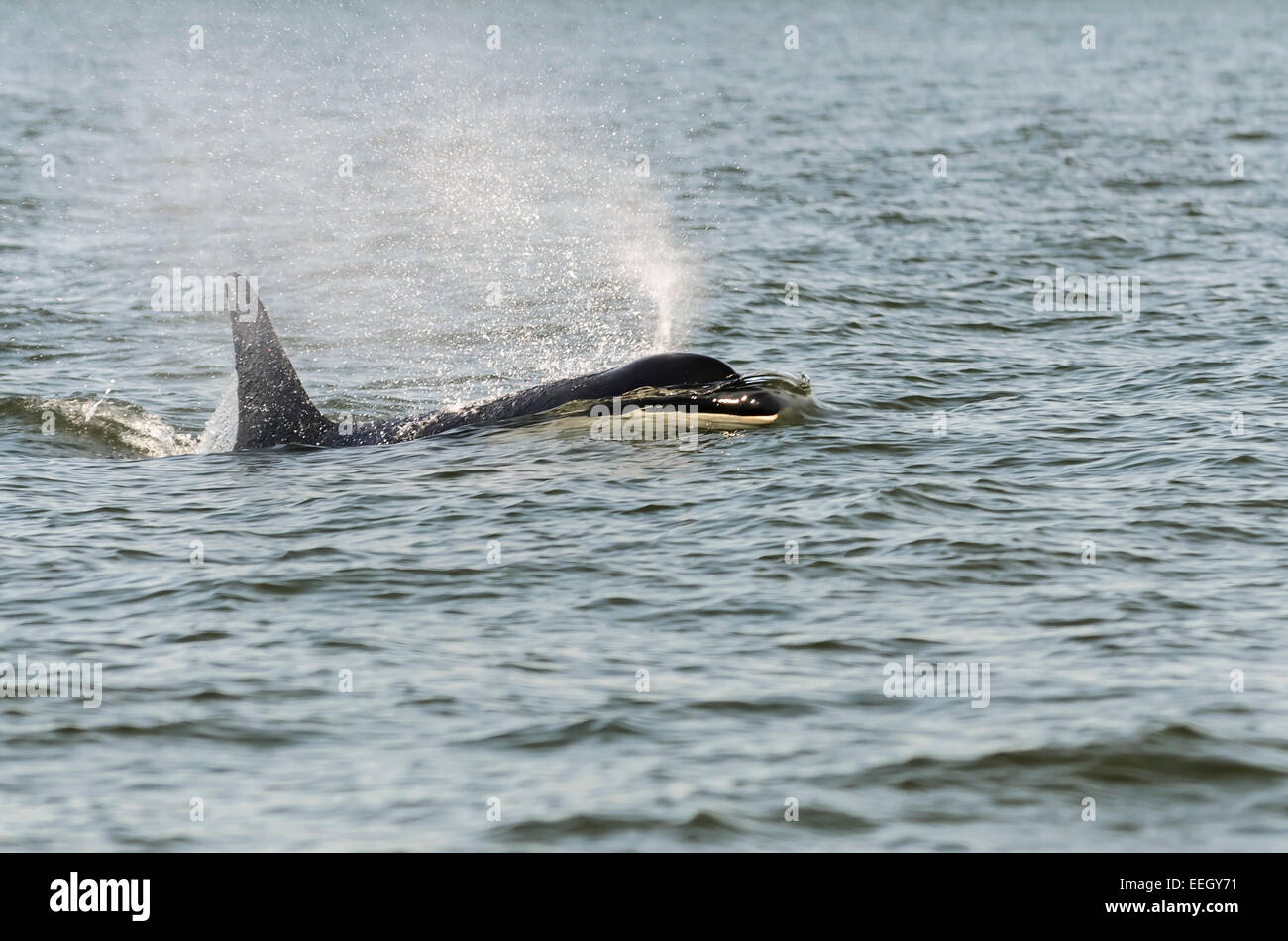 Southern resident Orca, J2, known as Granny, lived to be over 100 years old. J pod , Orcinus orca, British Columbia, - Stock Image